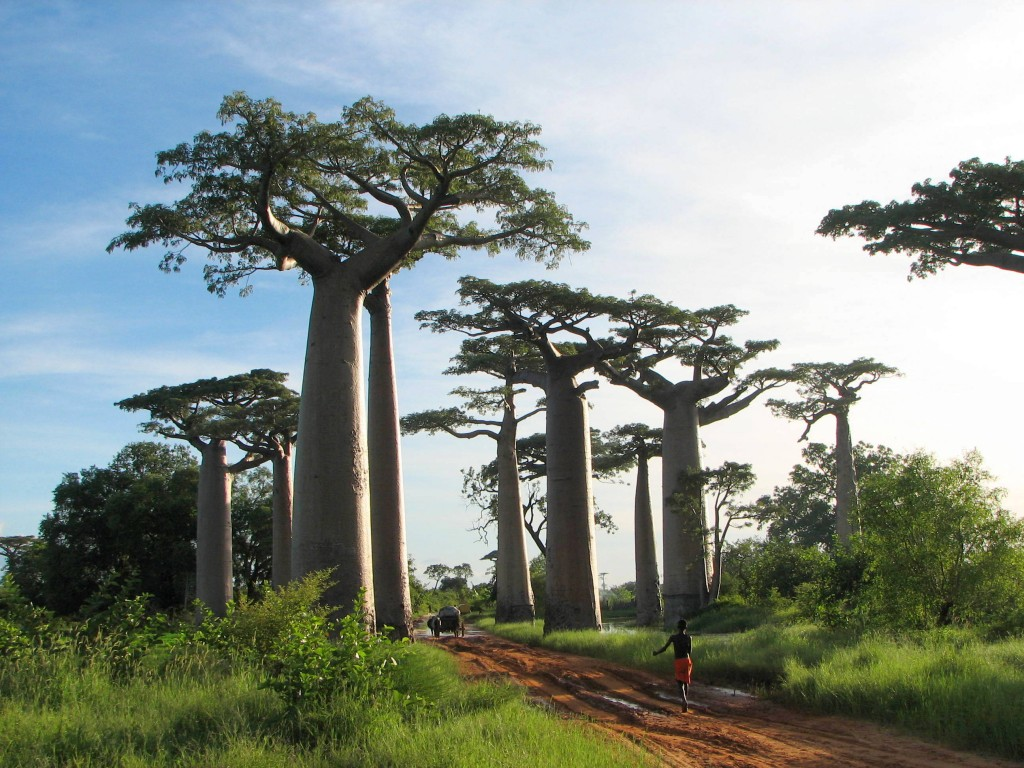 baobabs hold a ton of water
