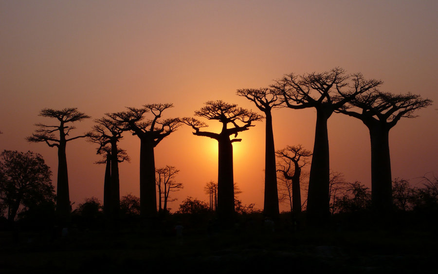 silhouettes of baobabs