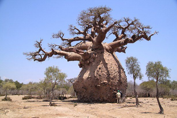 amazingly obese baobab tree