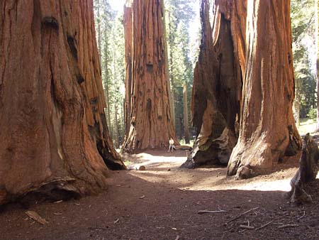 amazing sequoia trunks