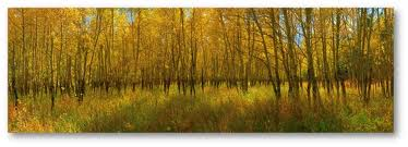 the beautiful quaking aspen trees