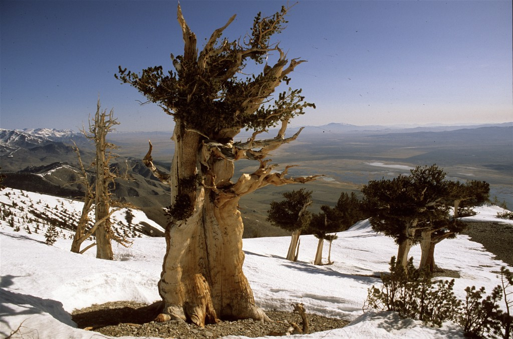 the amazing bristlecone pine in the snow