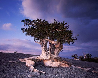 really cool bristlecone pine