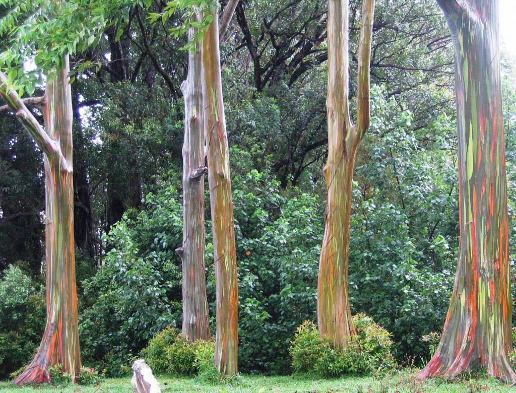the amazing rainbow eucalyptus!