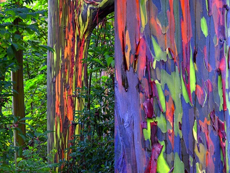 colorful bark on the rainbow eucalyptus