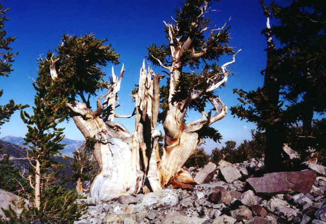 the oldest single organism in the world: methuselah