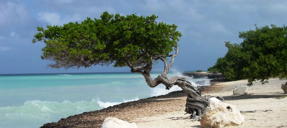 cool divi-divi tree in the caribbean