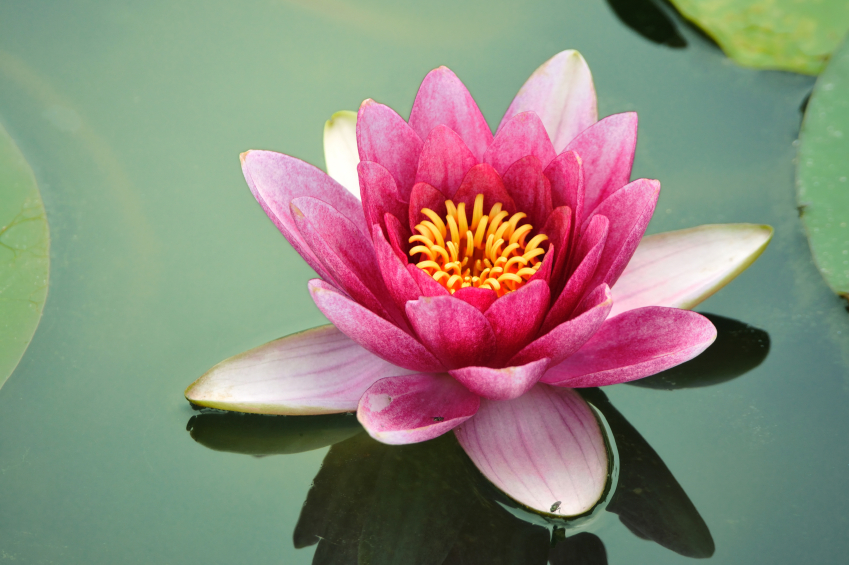 lotus-flower-II.jpg