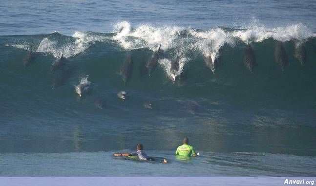 surfing dolphins