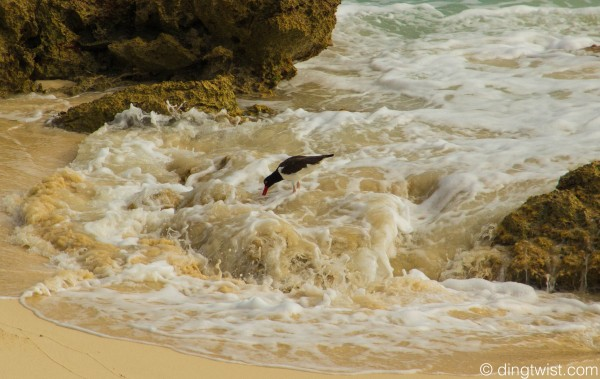 American oystercatcher Anguilla