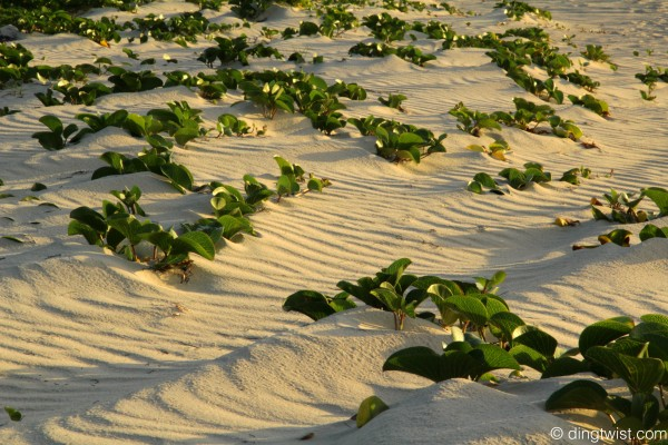 Beach Plants Anguilla