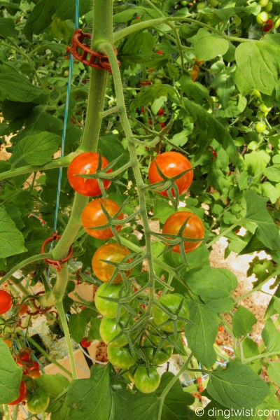 Hydroponic Tomatoes Cuisinart