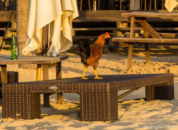 Rooster Anguilla