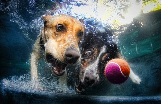 dog diving for tennis ball underwater