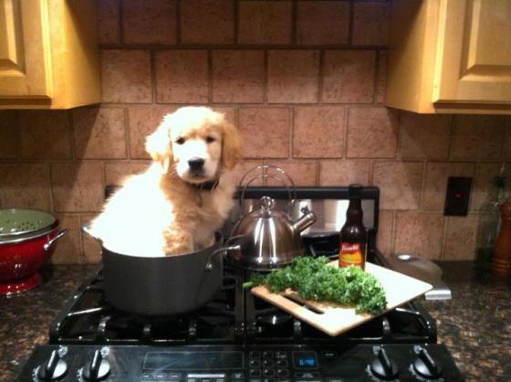 golden retriever in a pot