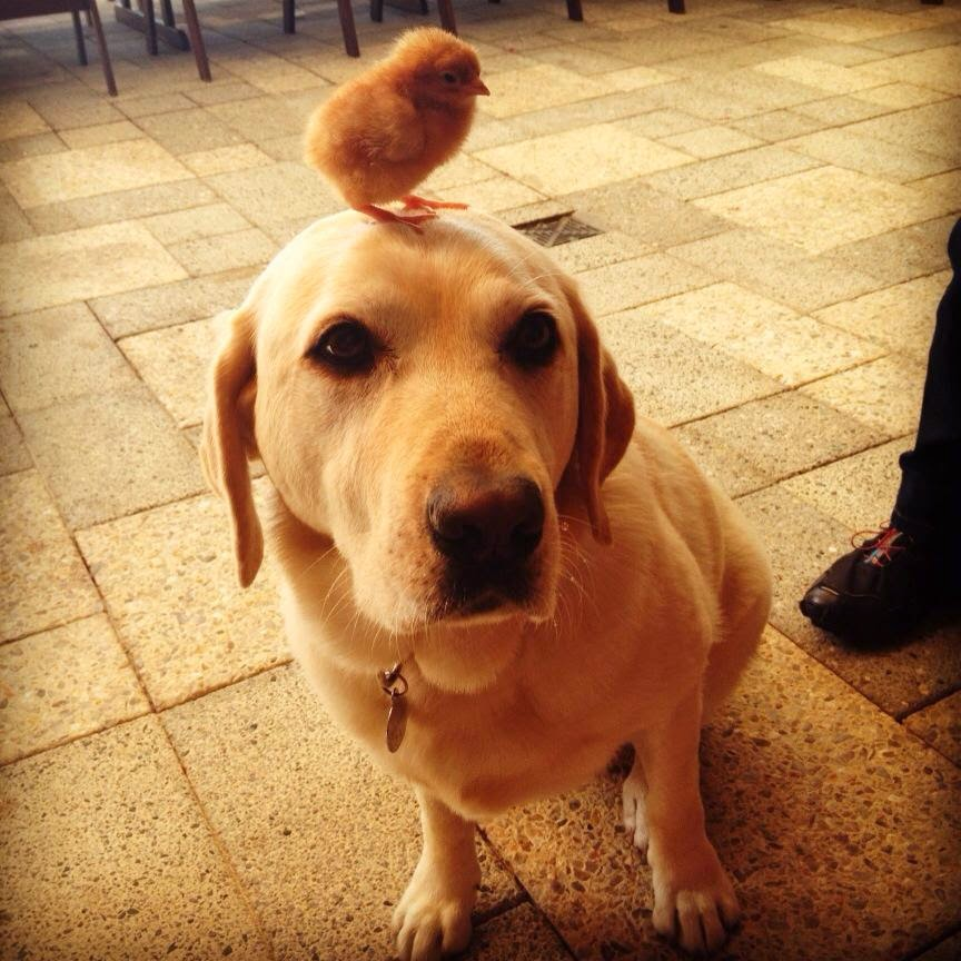 chick on head