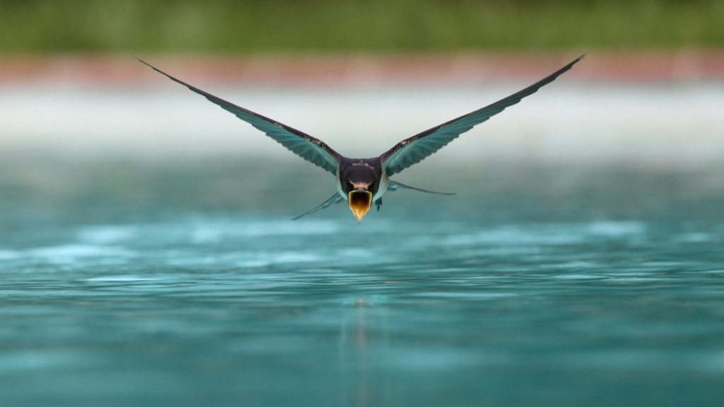 swallow drinking mid-flight