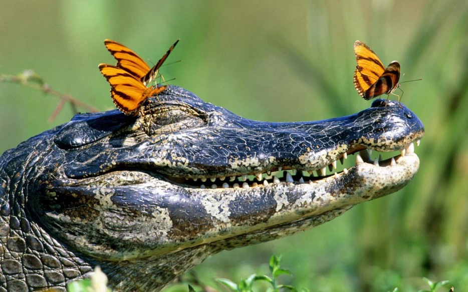 gator with butterflies