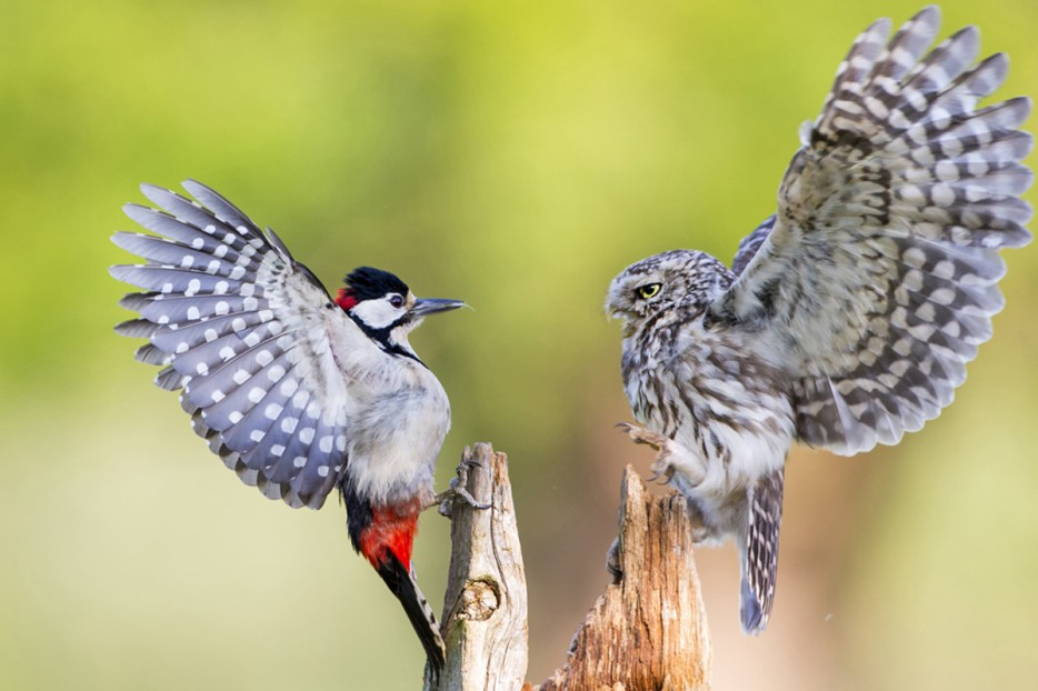 woodpecker & owl