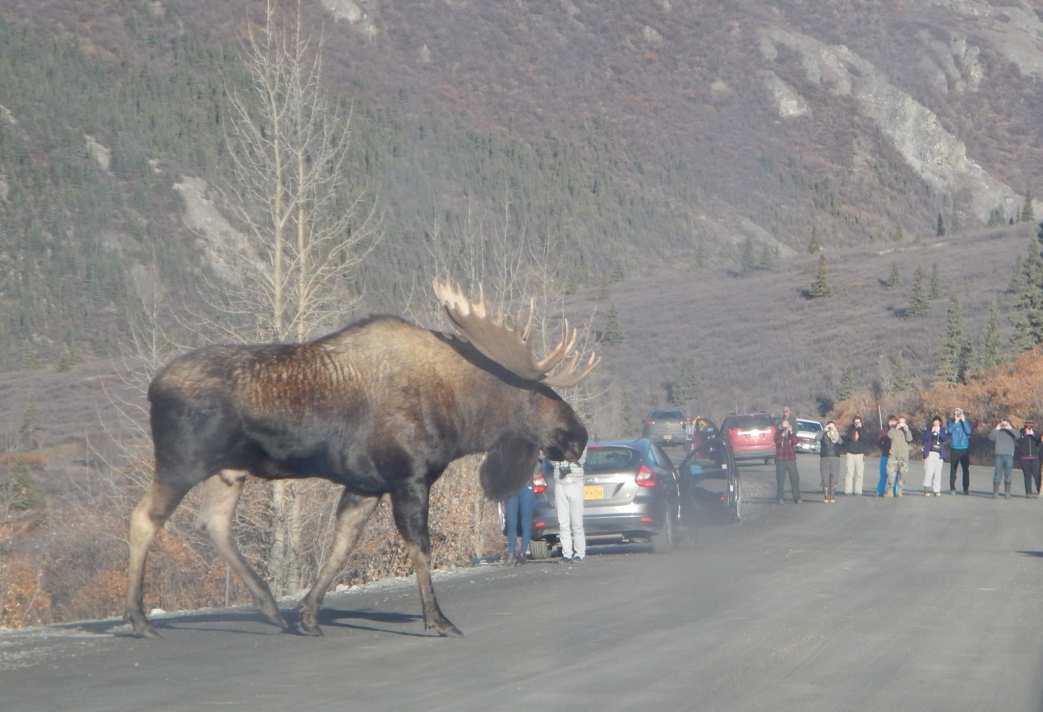big fkn moose