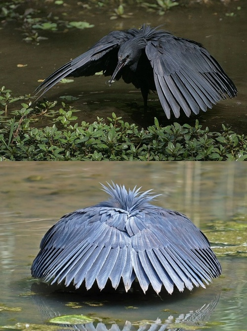 black heron attracts food to his shade