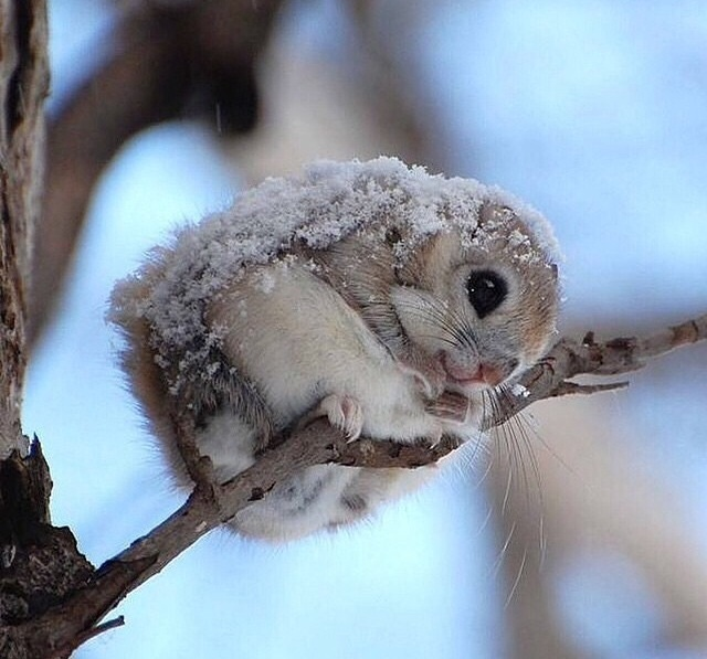 dwarf flying squirrel
