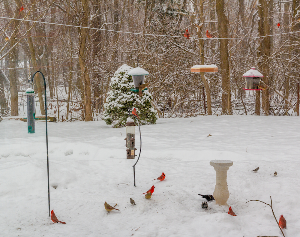 I count 15 cardinals (make sure you consider the females, which are more brown than red). How many do you see?