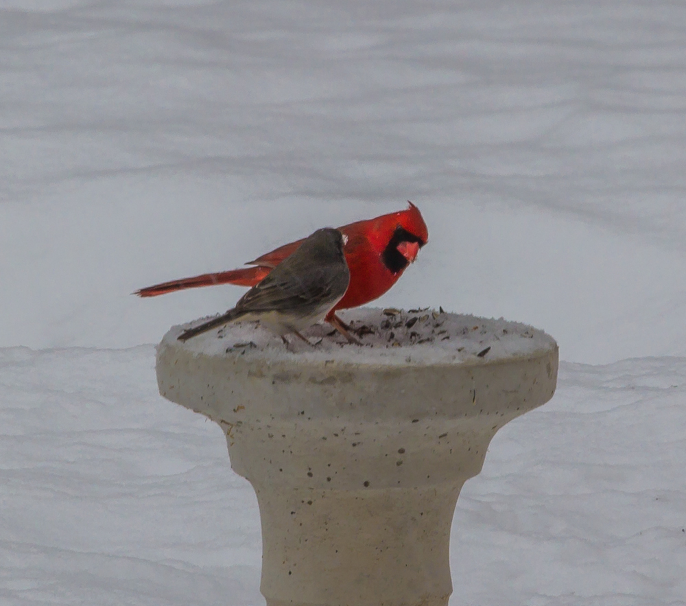 A cardinal conversing with a dark eyed junco about how lucky they are to have delicious black oil sunflower seeds even during a snowstorm, and how awesome the guy is who provides said seeds.