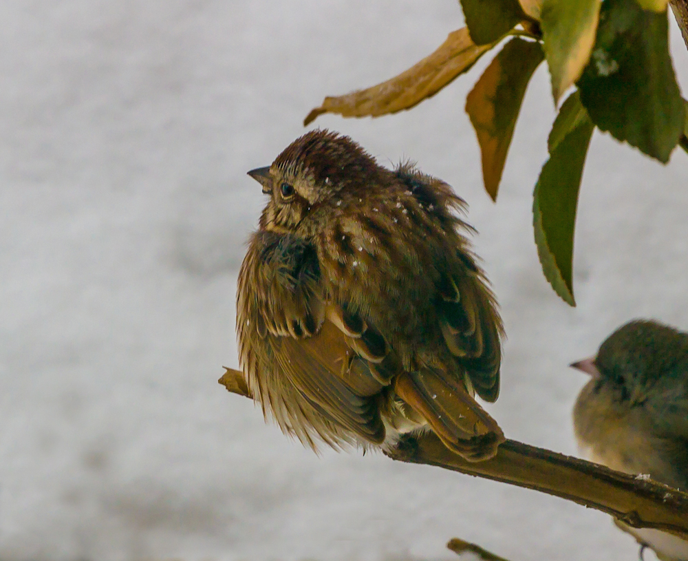 Actually, this was from the snowstorm mentioned above. Cute little house sparrow with his feathers fluffed.