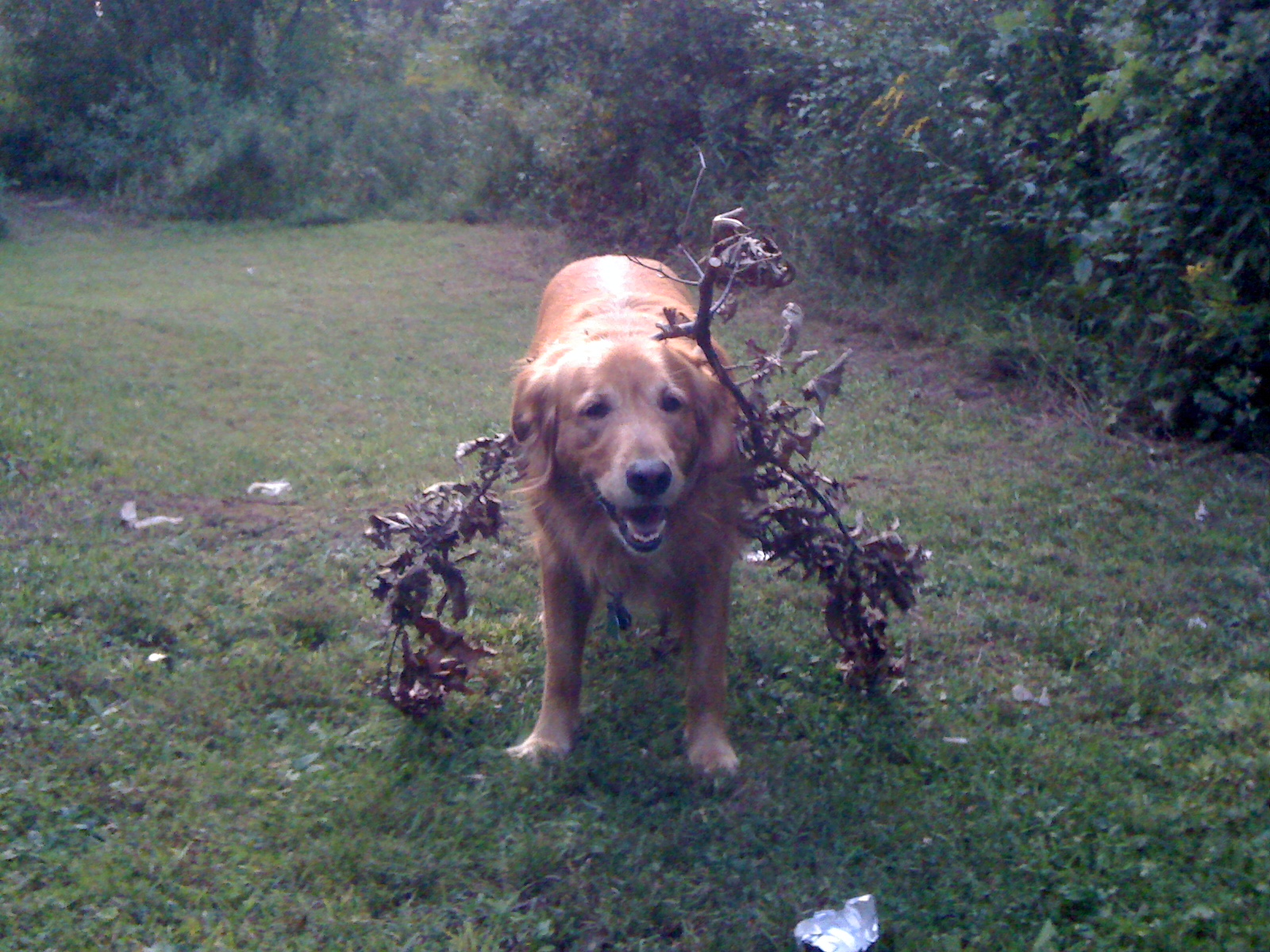 Wandering through the bushes, got a branch stuck on him.